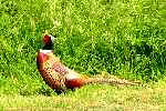Pheasants can damage your tyres and radiator [50 kb]